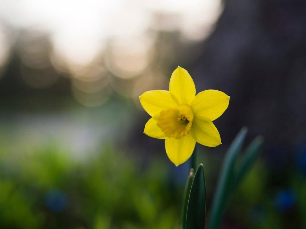 Bloemen Van De Lente Narcis
